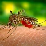 Aedis Aegypti ta plama zika